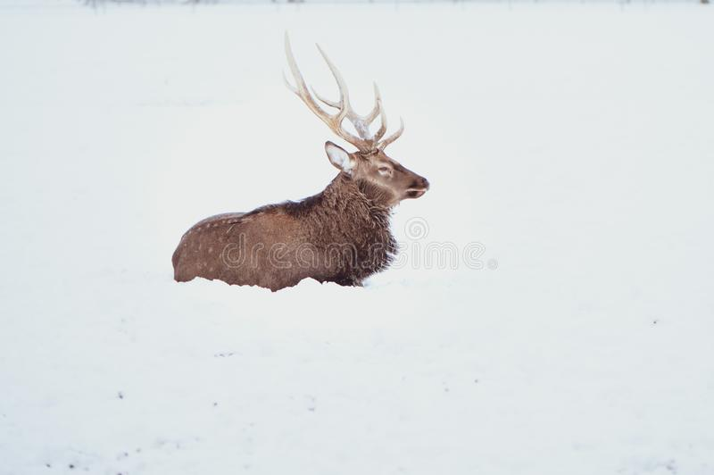 Noble Sika deer , Cervus nippon, spotted deer stock photography