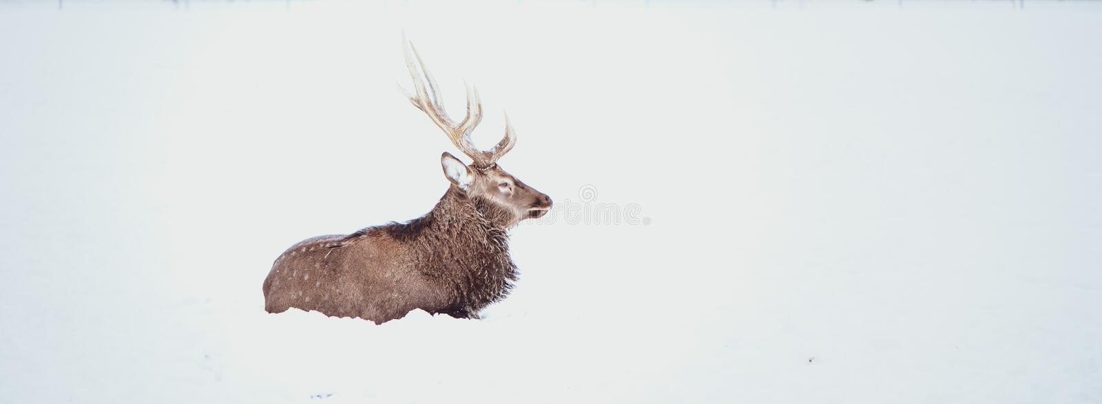Noble Sika deer ,  Cervus nippon, spotted deer ,  lying on the snow royalty free stock photo