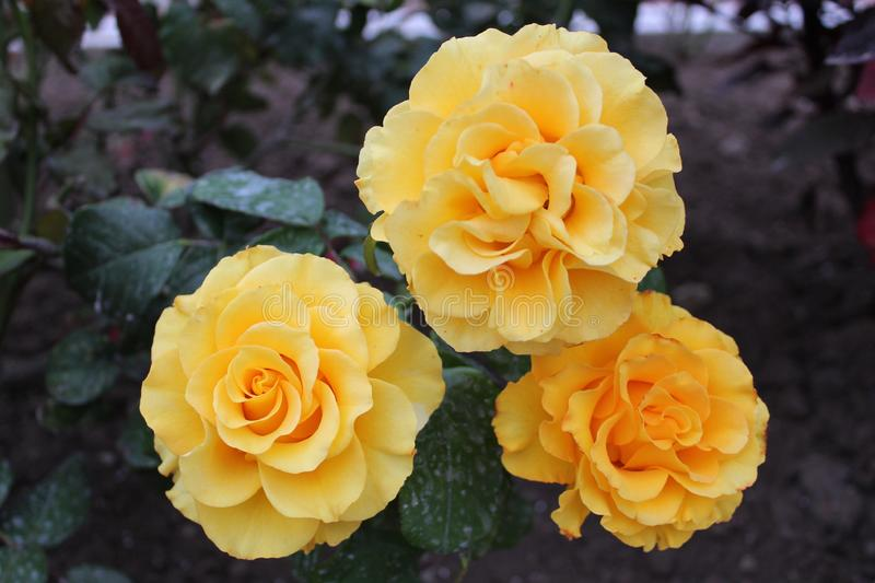 Noble yellow rose in the garden. Photo beautiful rose.flower petals are yellow.motley plant blooms in the garden in summer stock images
