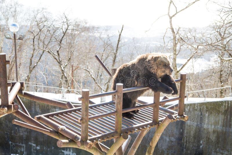 Noboribetsu, Japão, o 27 de janeiro de 2018: Urso marrom do Hokkaido uma ATT imagem de stock