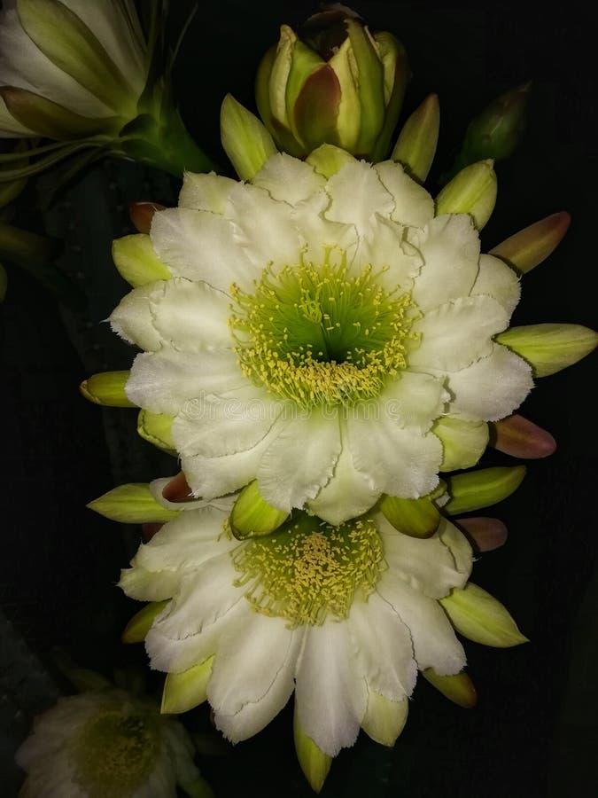 Noc kaktusa kwitnący kwiaty fotografia stock