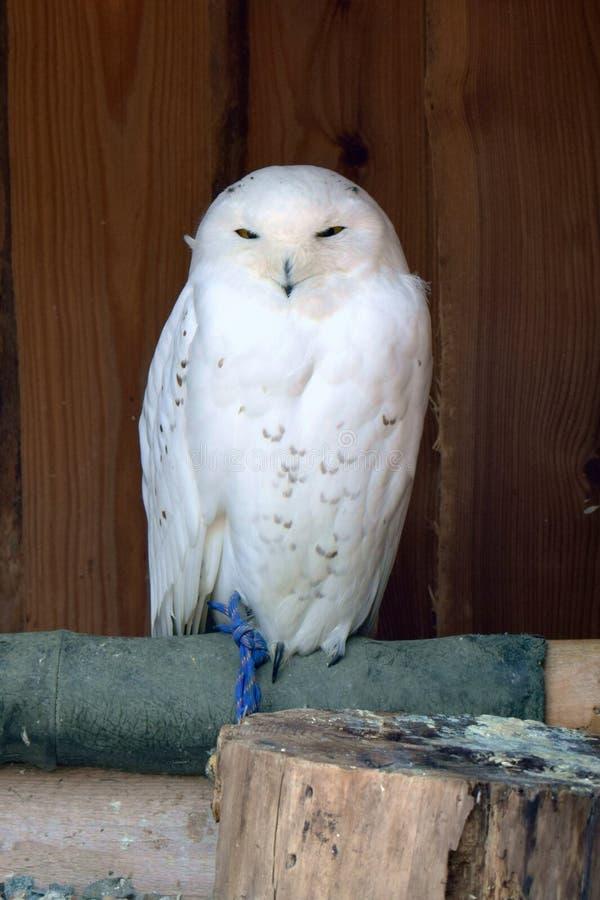 Noc ptak, sowa zdjęcie royalty free