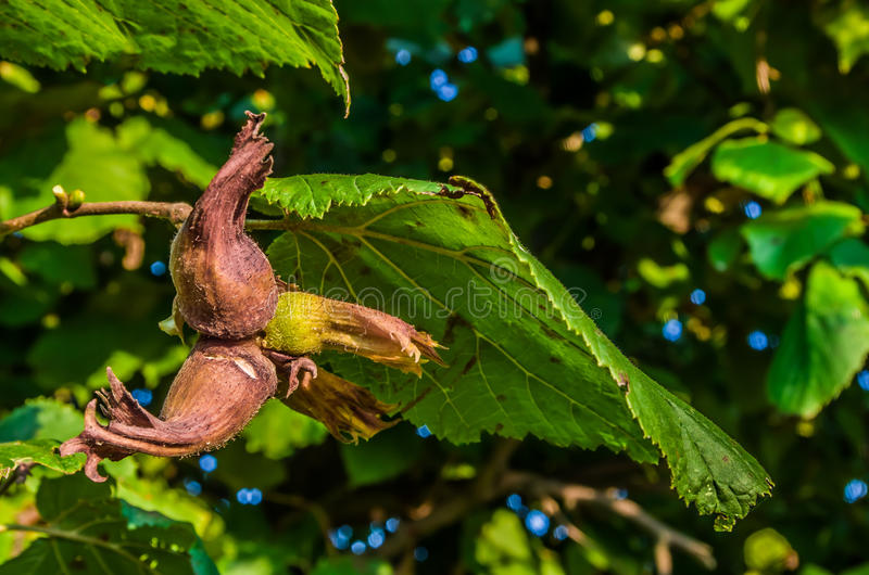 Nocciole dell'albero fotografia stock