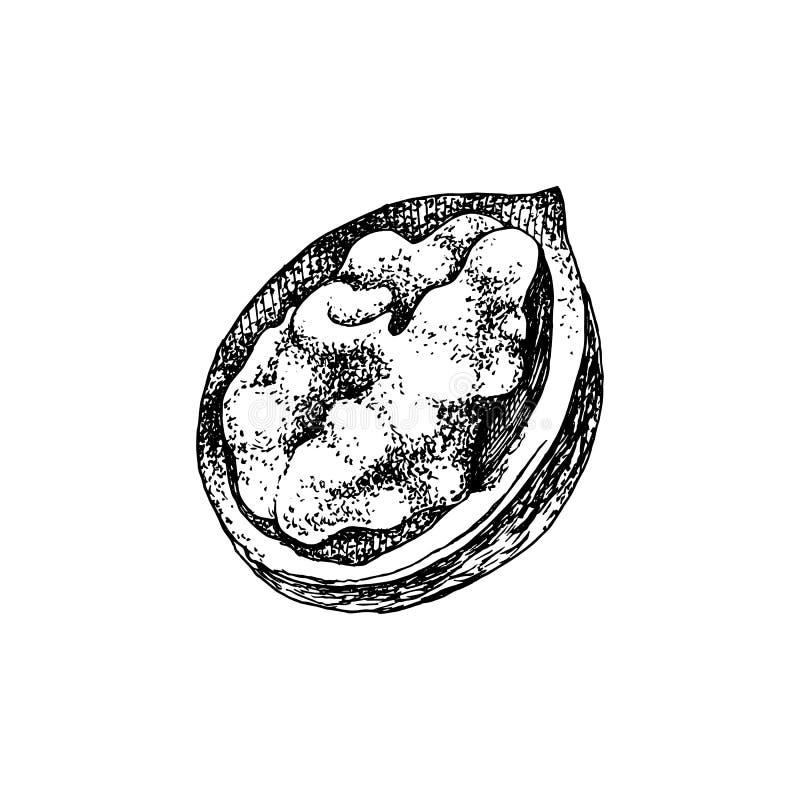 Nocciolo disegnato a mano della noce nelle coperture rotte royalty illustrazione gratis