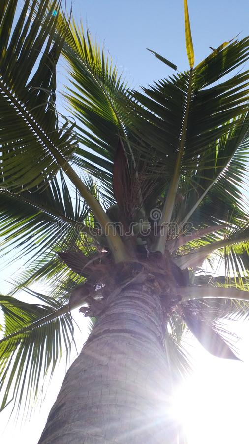 Download Noce di cocco immagine stock. Immagine di alberi, alba - 55355237