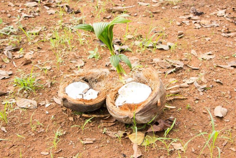 Noce di cocco con i fogli fotografia stock libera da diritti