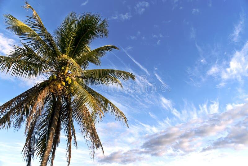 Noce di cocco della baia di Waimea fotografie stock libere da diritti