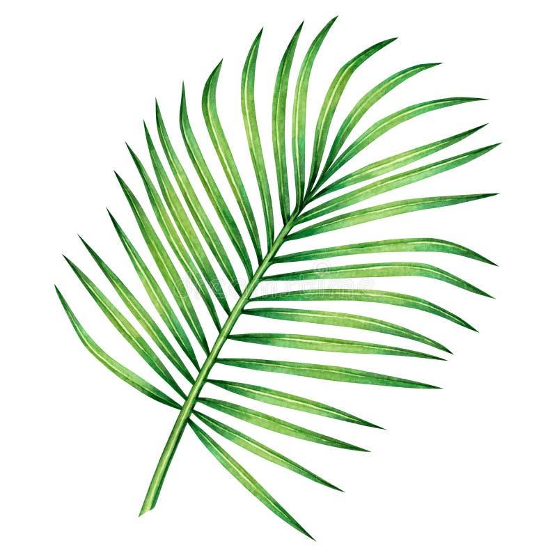 Noce di cocco della pittura dell'acquerello, foglia di palma, foglie verdi isolate su fondo bianco Exot tropicale dell'illustrazi royalty illustrazione gratis