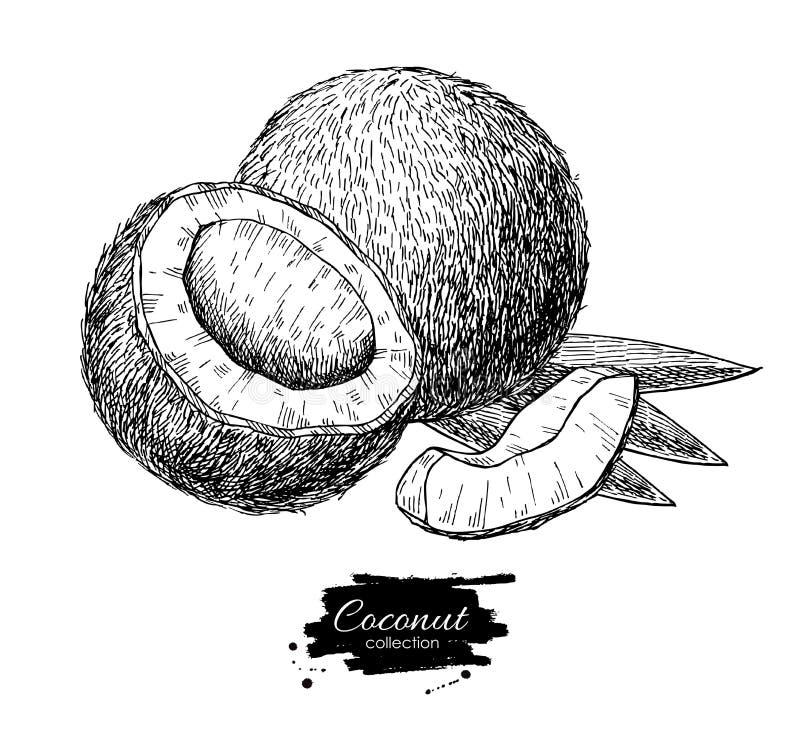 Noce di cocco disegnata a mano di vettore Stile inciso frutta tropicale di estate illustrazione vettoriale