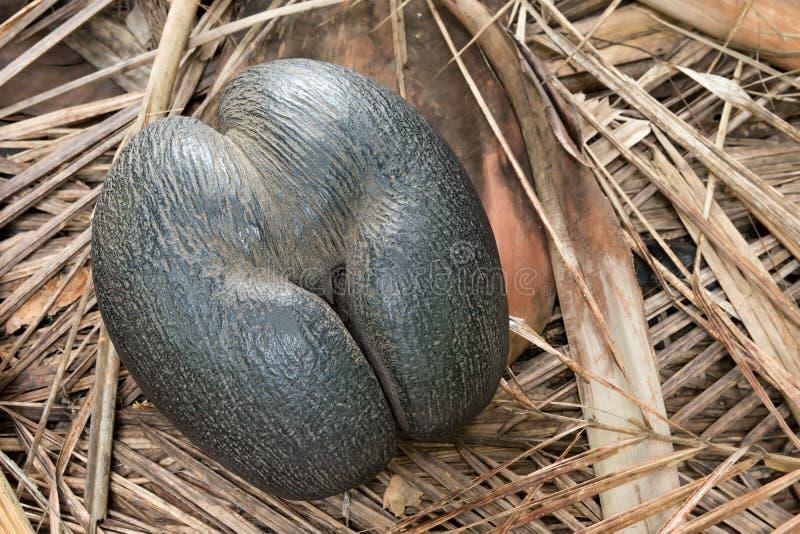 Noce di cocco edemic di specie delle Seychelles immagine stock