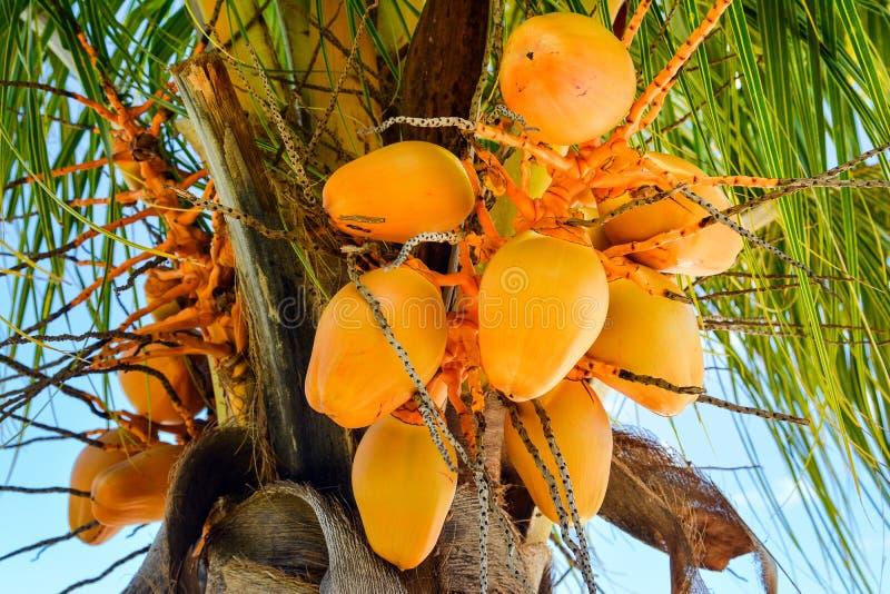Noce di cocco gialla fotografia stock