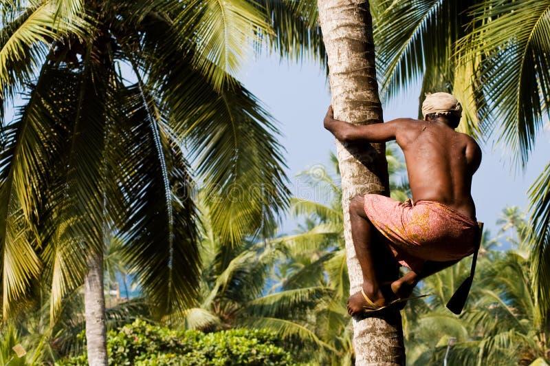Noce di cocco indiana lesta di raccolto dell'uomo immagini stock