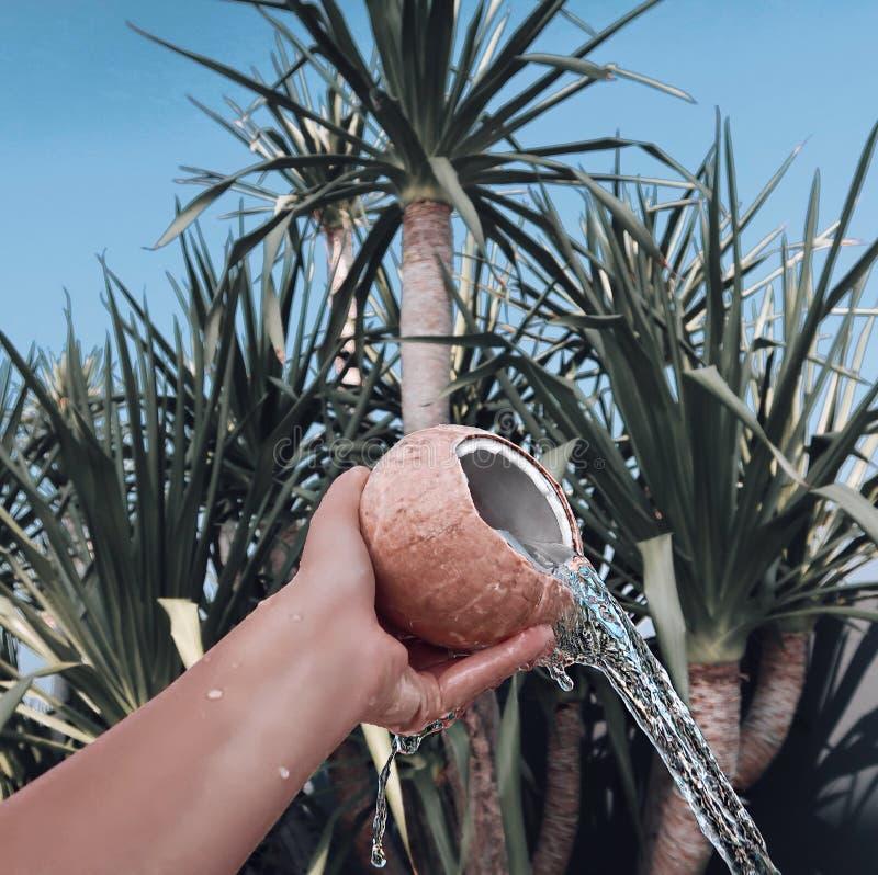 noce di cocco marrone su un fondo delle palme immagini stock