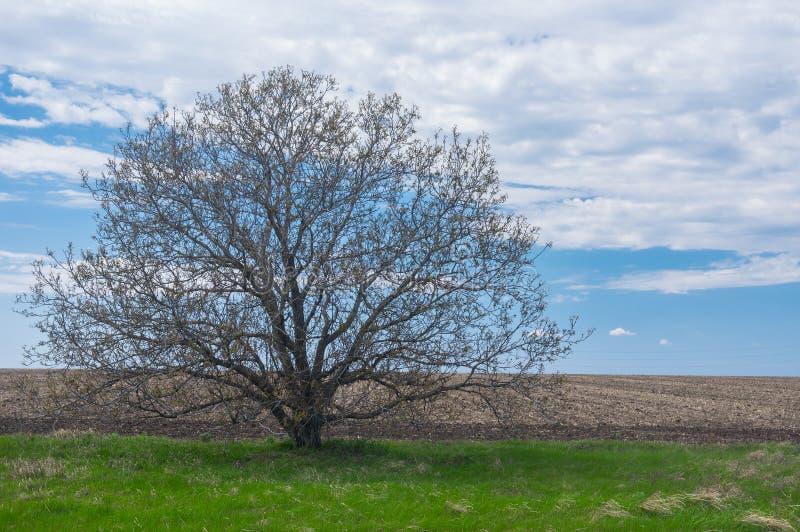 Noce ramosa selvatica contro il cielo nuvoloso blu alla stagione primaverile in anticipo in Ucraina fotografie stock libere da diritti