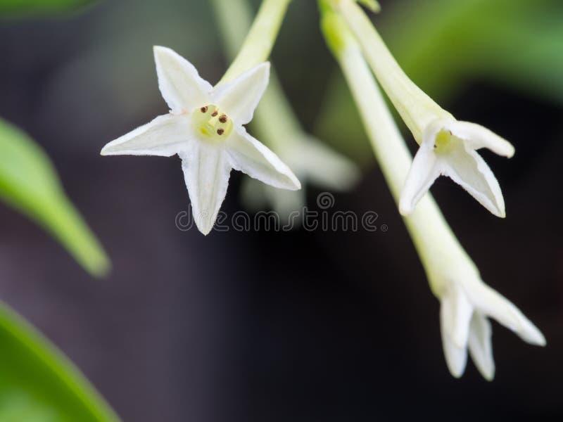 Noche fragante Jasmine Flower imagen de archivo
