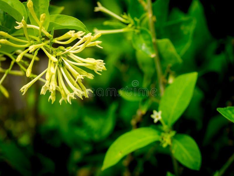 Noche Jasmine Flowers Hanging imagenes de archivo