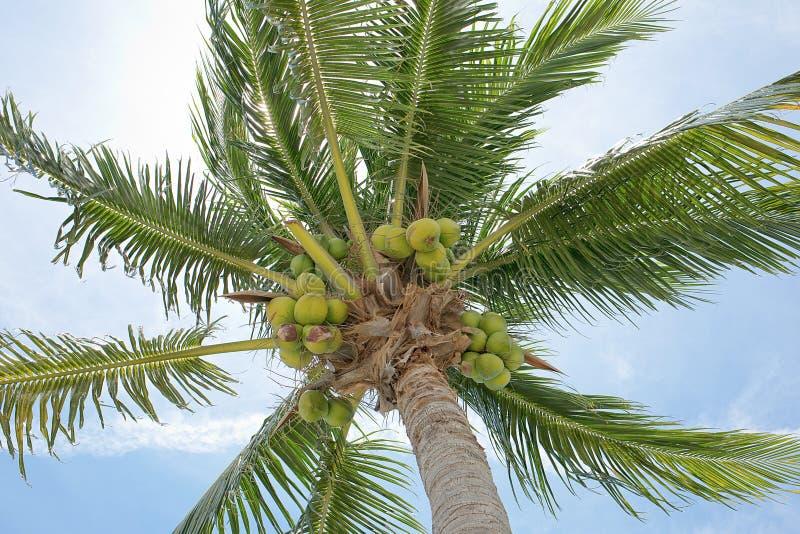 Noci di cocco fresche fotografia stock