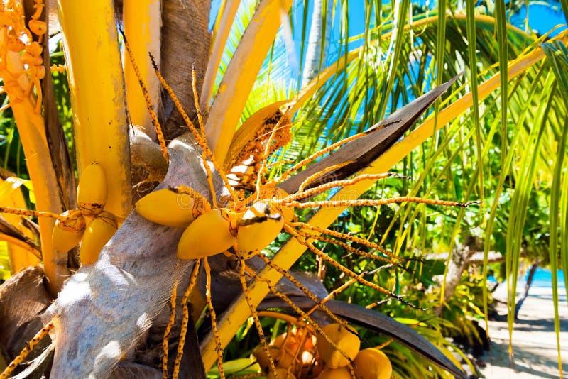 Noci di cocco su una palma nella laguna Huahine, Polinesia francese Primo piano Con il fuoco selettivo fotografie stock
