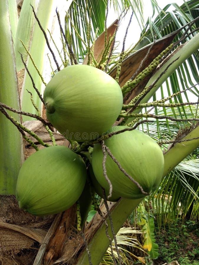 Noci di cocco sull'albero 2 immagine stock