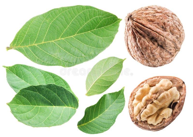 Noci e foglie della noce Isolato su priorità bassa bianca immagini stock libere da diritti