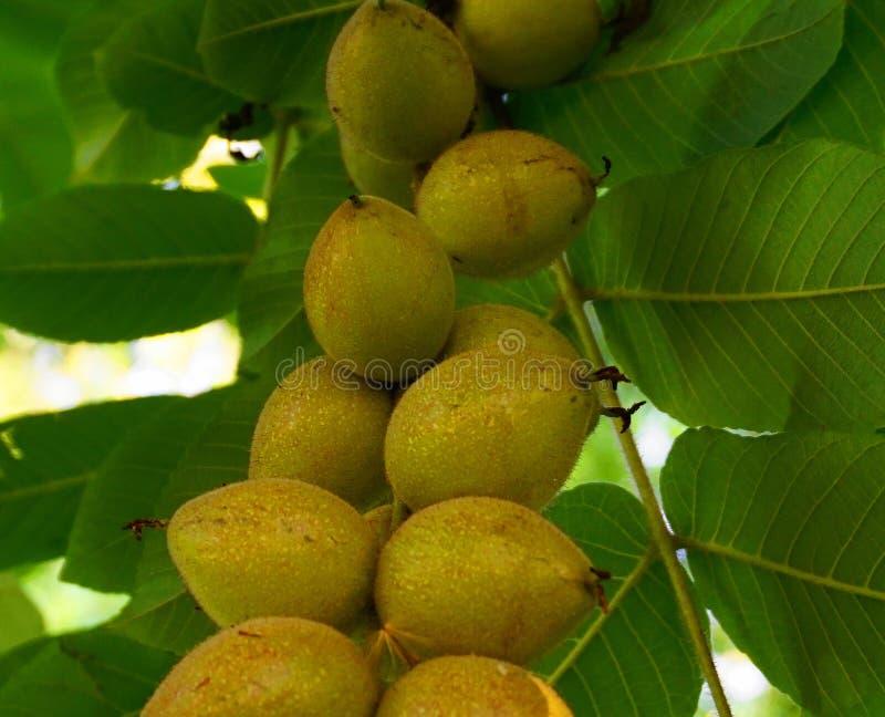 Noci e foglie verdi mature fresche sulla fine del ramo su fotografia stock