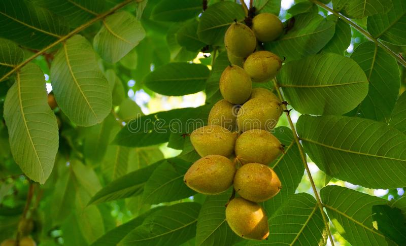 Noci e foglie verdi mature fresche sulla fine del ramo su immagine stock libera da diritti