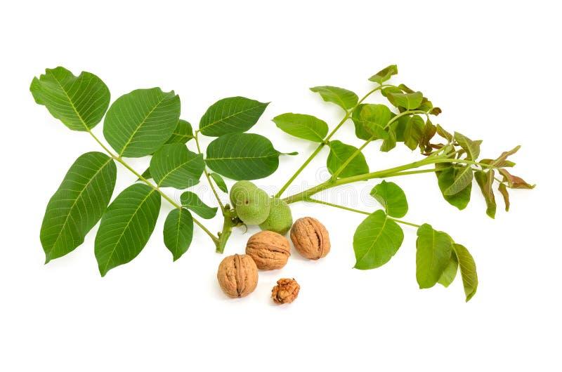 Noci mature contro del ramo della noce con le foglie, frutti non maturi immagini stock libere da diritti