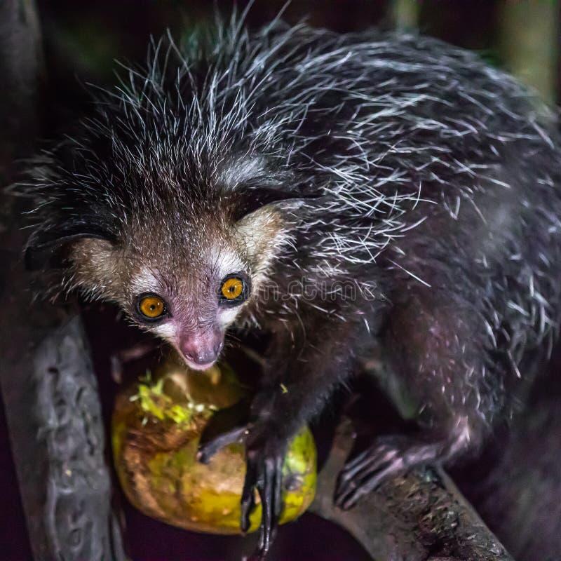Nocternal Aye-Aye Lemur royaltyfri bild