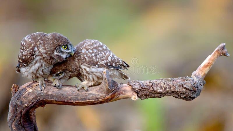 Noctua del Athene de dos pequeños búhos que se sienta en un palillo presionado cara a cara imagen de archivo libre de regalías
