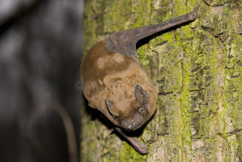 Noctule commun (noctula de Nyctalus) photo libre de droits
