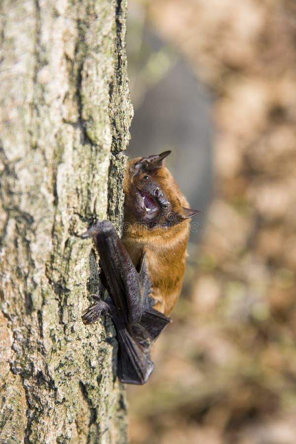 Pipistrello sull'albero fotografia stock libera da diritti