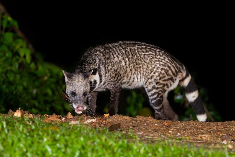 Nocturnal animals Viverra zibetha stock images