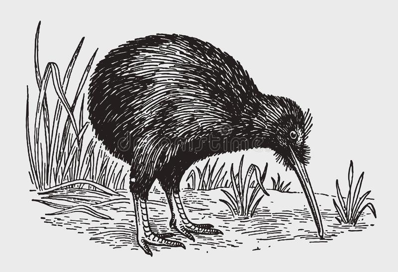 Nocturnal flightless kiwi apteryx from new zealand looking for food. Illustration after a historic engraving from the early 20th century. Editable in layers royalty free illustration
