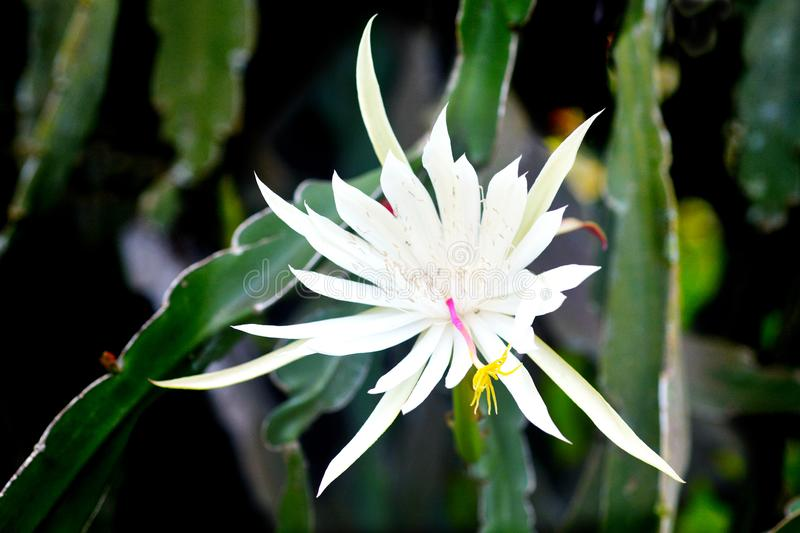 Nocturnal Pitahaya Dragon fruit flower blossom royalty free stock image