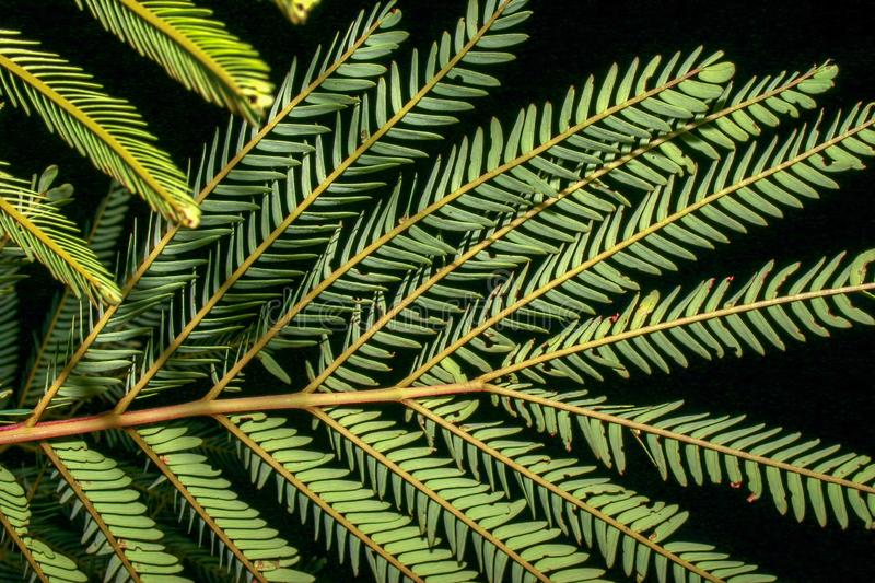 Nocturne picture of the persian silk tree leaves. Close-up nocturne picture of the persian silk tree leaves. Captured at the Andean mountaisn of central Colombia royalty free stock photography