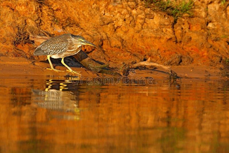 Nocy czapla, popielaty wodnego ptaka obsiadanie w kamiennym brzegowym ranku w pomarańcze wody powierzchni Denny ptak Czapli obsia fotografia royalty free