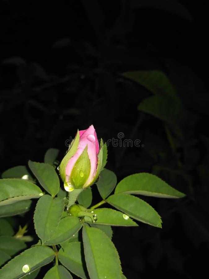 Nocy piękno różowy wspaniały obrazy royalty free