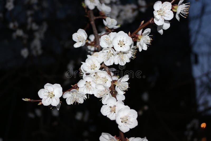 Nocy powietrza odory kwiatonośne morele fotografia royalty free