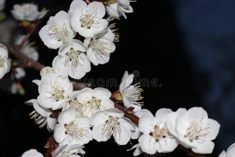 Nocy powietrza odory kwiatonośne morele obraz stock