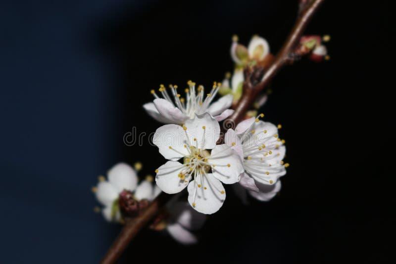 Nocy powietrza odory kwiatonośne morele zdjęcia royalty free
