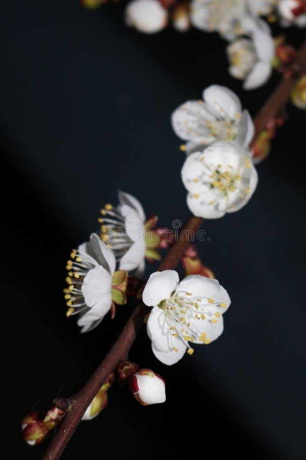 Nocy powietrza odory kwiatonośne morele obraz royalty free