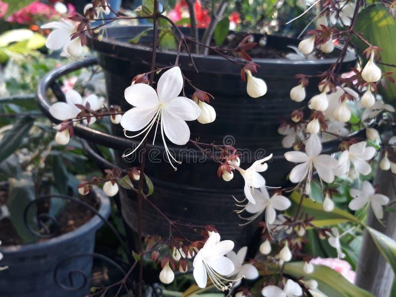 Nodding clerodendron. Noddingflower clerodendronflower whiteflower potplant ornamentalplant stock images
