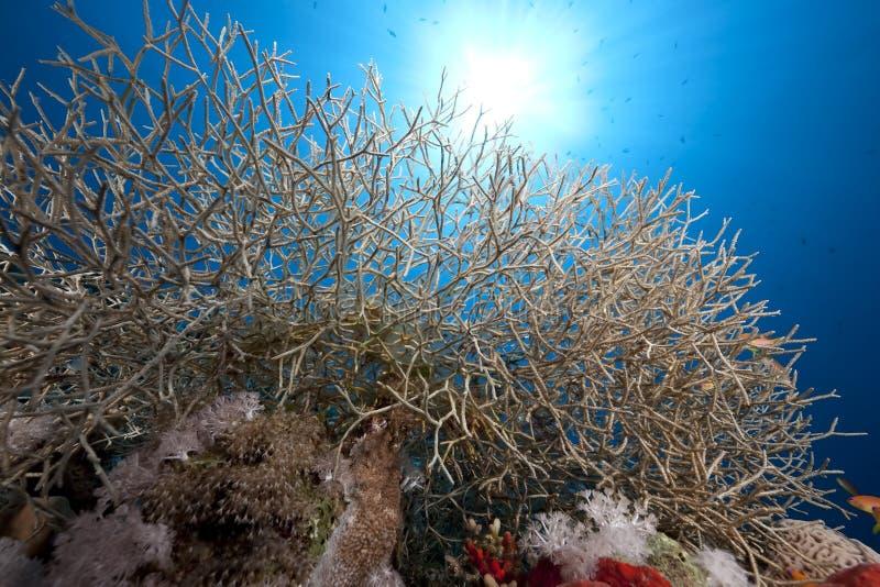 Download Noded coral stock photo. Image of beneath, scenes, below - 12615408