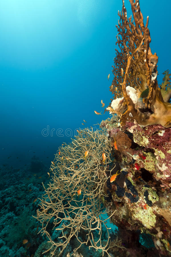 Noded Coral In The Red Sea. Royalty Free Stock Images
