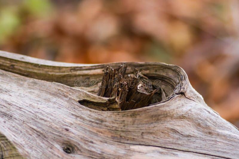 Nodo di legno sul tronco di albero immagine stock