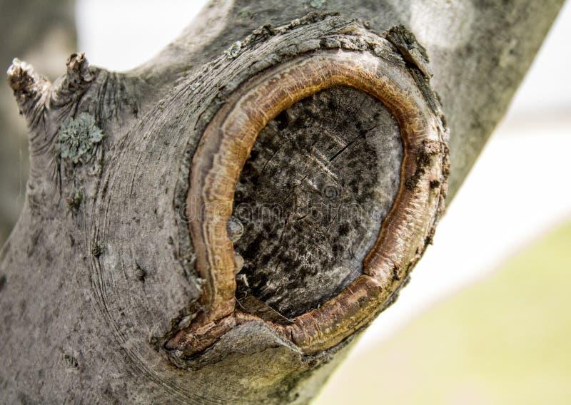Nodo nel ramo di albero immagini stock