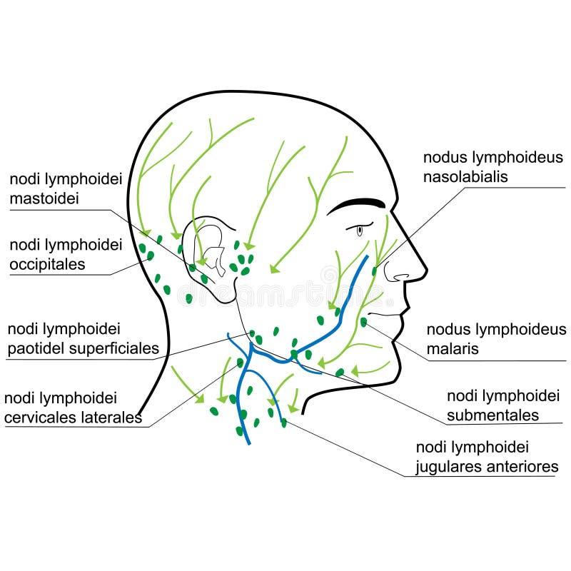 Nodos de linfa de la pista y del cuello ilustración del vector