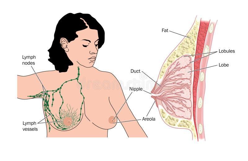 Nodos del pecho y de linfa ilustración del vector