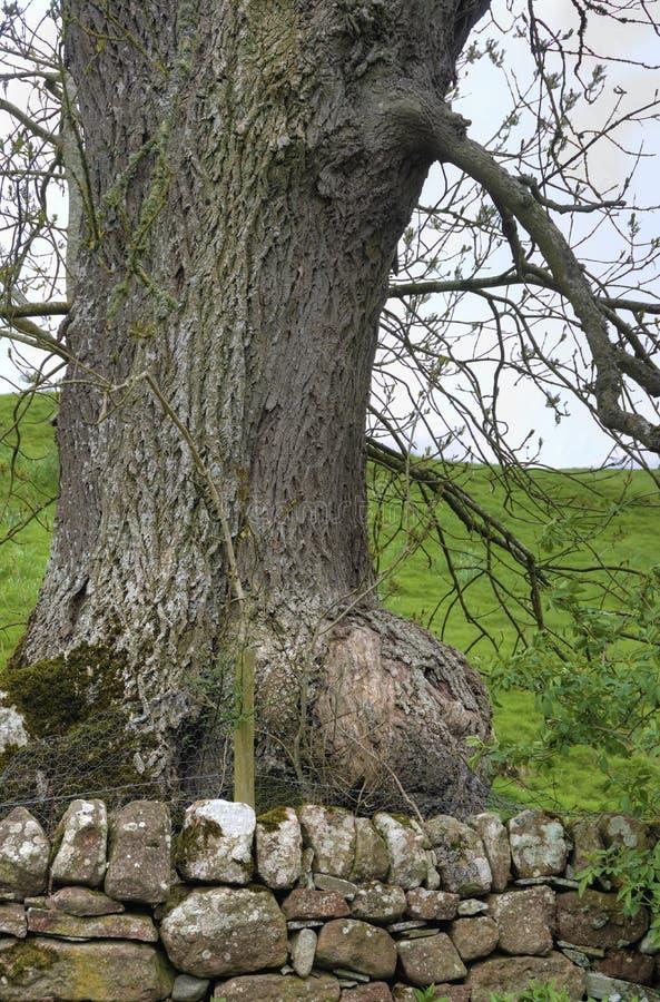 Noeud énorme sur un vieux chêne Pedunculate image stock