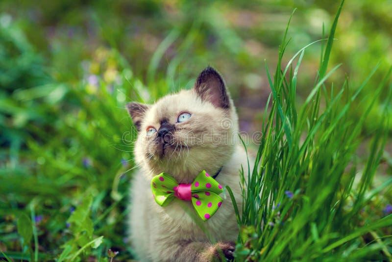 Noeud papillon de port de petit chaton siamois photographie stock